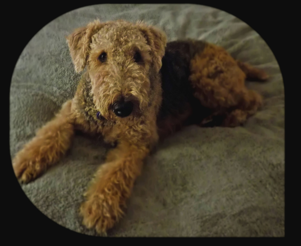 Airedale lying on bd